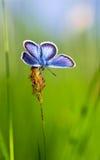 Μπλε πεταλούδα στη χλόη Στοκ εικόνα με δικαίωμα ελεύθερης χρήσης