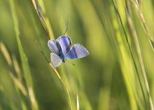 Μπλε πεταλούδα στη χλόη στοκ φωτογραφίες με δικαίωμα ελεύθερης χρήσης