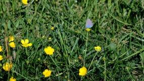 Μπλε πεταλούδα στο κίτρινο άγριο λουλούδι στοκ φωτογραφία με δικαίωμα ελεύθερης χρήσης