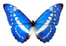 Μπλε πεταλούδα της Helena morpho Στοκ φωτογραφία με δικαίωμα ελεύθερης χρήσης