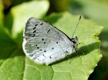 Μπλε πεταλούδα της Holly Στοκ Εικόνα
