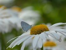 Μπλε πεταλούδα της Holly Στοκ Εικόνες