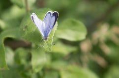 Μπλε πεταλούδα της Holly (argiolus Celastrina) Στοκ φωτογραφίες με δικαίωμα ελεύθερης χρήσης