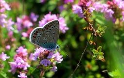 μπλε πεταλούδα Στοκ εικόνες με δικαίωμα ελεύθερης χρήσης