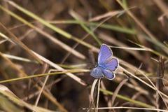 Μπλε πεταλούδα Cassius, Φλώριδα Στοκ φωτογραφία με δικαίωμα ελεύθερης χρήσης