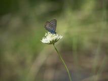 Μπλε πεταλούδα Karner Στοκ Φωτογραφίες