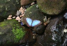 Μπλε πεταλούδα Morpho που στέκεται σε έναν mossy υγρό βράχο Στοκ Φωτογραφίες