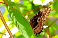 Μπλε πεταλούδα Morpho Peleides (κάτω από την πλευρά) Στοκ φωτογραφία με δικαίωμα ελεύθερης χρήσης
