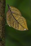 Μπλε πεταλούδα Oakleaf στοκ φωτογραφίες