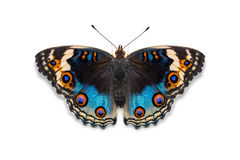 μπλε πεταλούδα pansy Στοκ φωτογραφίες με δικαίωμα ελεύθερης χρήσης