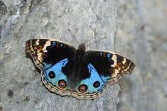 Μπλε πεταλούδα Peacock Στοκ Εικόνα