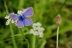 Μπλε πεταλούδα (plebeius) στο λιβάδι Στοκ Φωτογραφίες