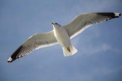 μπλε πετώντας seagull ουρανός Στοκ εικόνα με δικαίωμα ελεύθερης χρήσης