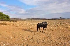 Μπλε πιό wildebeest αντιλόπη Στοκ φωτογραφία με δικαίωμα ελεύθερης χρήσης