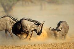 Μπλε πιό wildebeest πάλη στοκ εικόνες