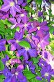 Μπλε πορφυρά λουλούδια clematis Στοκ Φωτογραφία