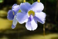 Μπλε πορφυρό μαλακό λουλούδι της αμπέλου δαφνών, κρύα χορτάρια laurifolia Thunbergia στην Ασία Στοκ Εικόνες
