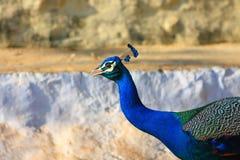 Μπλε Peafowl Στοκ εικόνα με δικαίωμα ελεύθερης χρήσης