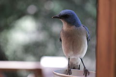 Μπλε πουλί Στοκ Εικόνα