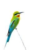 Μπλε πουλί budgerigars Στοκ φωτογραφία με δικαίωμα ελεύθερης χρήσης
