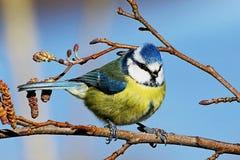 Μπλε πουλί Tit που σκαρφαλώνει στον κλάδο Στοκ Εικόνες