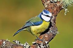 Μπλε πουλί Tit που σκαρφαλώνει στον κλάδο στοκ εικόνα