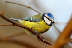 Μπλε πουλί tit   Στοκ εικόνα με δικαίωμα ελεύθερης χρήσης