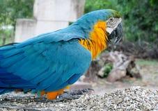 Μπλε, πράσινος και κίτρινος μεγάλος παπαγάλος φτερών Στοκ Εικόνες