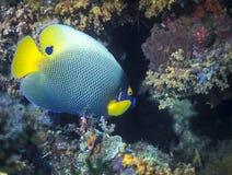 Μπλε πρόσωπο Angelfish - Παπούα Νέα Γουϊνέα Στοκ Εικόνες
