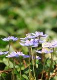 Μπλε λουλούδια Anemone άνοιξη Στοκ Εικόνες