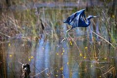 Μπλε πτήση ερωδιών Στοκ εικόνες με δικαίωμα ελεύθερης χρήσης