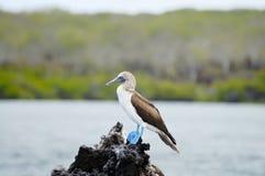 Μπλε πληρωμένος γκαφατζής - Galapagos - Ισημερινός στοκ εικόνα