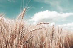 μπλε σίτος ουρανού εικόνας hdr πεδίων χρυσός Ώριμος χρόνος συγκομιδών σιταριού Στοκ Φωτογραφίες