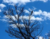 Μπλε σκιαγραφία του Jay Στοκ Φωτογραφία