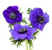 μπλε σκοτάδι anemone Στοκ εικόνα με δικαίωμα ελεύθερης χρήσης