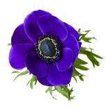 μπλε σκοτάδι anemone Στοκ εικόνες με δικαίωμα ελεύθερης χρήσης