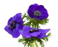 μπλε σκοτάδι anemone Στοκ φωτογραφία με δικαίωμα ελεύθερης χρήσης