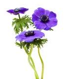 μπλε σκοτάδι anemone Στοκ Φωτογραφία