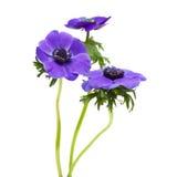 μπλε σκοτάδι anemone Στοκ Εικόνα