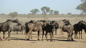 μπλε σκόνη η πιό wildebeesη φιλμ μικρού μήκους