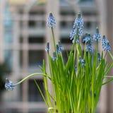 Μπλε σταφύλια Στοκ φωτογραφία με δικαίωμα ελεύθερης χρήσης