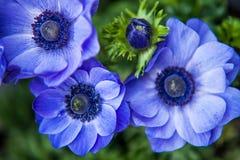 Μπλε στενός επάνω Anemones Στοκ Εικόνες