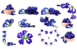 Μπλε στενό επάνω υπόβαθρο μπιζελιών πεταλούδων μπιζελιών Στοκ φωτογραφία με δικαίωμα ελεύθερης χρήσης