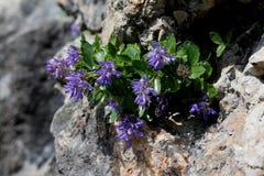Μπλε στο βράχο  bonarota paederota Στοκ Φωτογραφίες