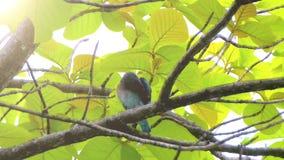 Μπλε συνεδρίαση πουλιών στο δέντρο και χαλάρωση απόθεμα βίντεο
