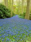 Μπλε τάπητας λουλουδιών σε Keukenhof Στοκ Εικόνα