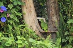 μπλε της Αμαζώνας που αντ& Στοκ Φωτογραφίες