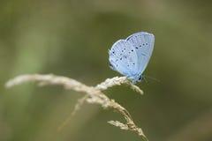 Μπλε της Holly Στοκ Εικόνες