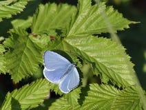 Μπλε της Holly Στοκ φωτογραφίες με δικαίωμα ελεύθερης χρήσης