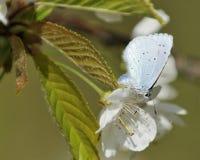 Μπλε της Holly Στοκ φωτογραφία με δικαίωμα ελεύθερης χρήσης